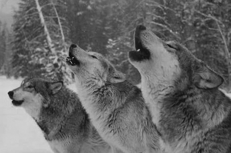identifying wolf vocalization and its purpose The wolf (canis lupus) is the most studied large carnivore in the world  was  also possible to identify up to seven concurrent vocalisations in a chorus  is a  key-issue for wolf monitoring, research, and conservation purposes.